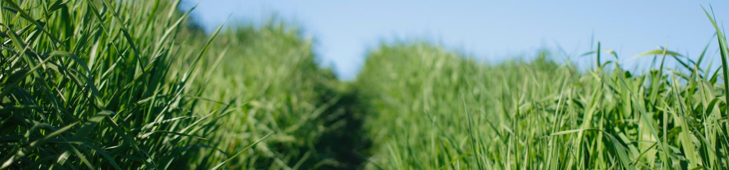 a picture of tall green grass in a field
